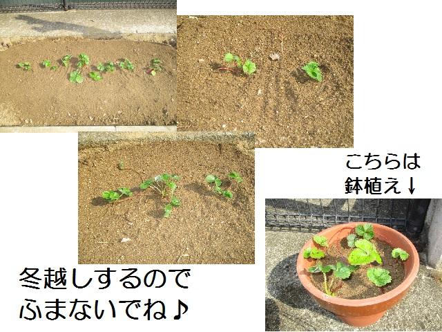 イチゴ地植え