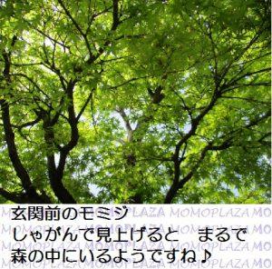 モミジ_みどり